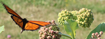 Southbrook Vineyards is Helping Save Monarch Butterflies